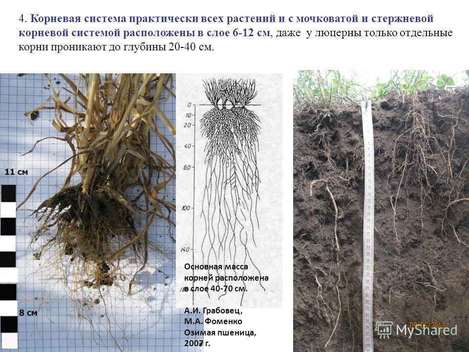 4. Корневая система практически всех растений и с мочковатой и стержневой корневой системой расположены в слое 6-12 см, даже у люцерны только отдельные корни проникают до глубины 20-40 см. Основная масса корней расположена в слое 40-70 см. А.И. Грабо