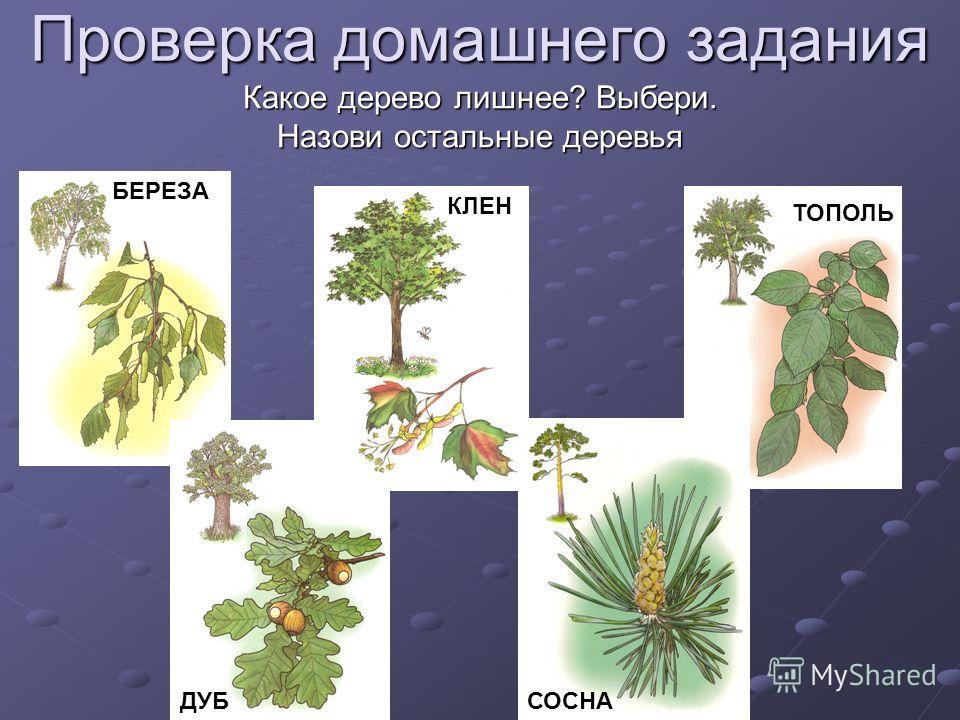 Проверка домашнего задания Какое дерево лишнее? Выбери. Назови остальные деревья СОСНА БЕРЕЗА КЛЕН ТОПОЛЬ ДУБ