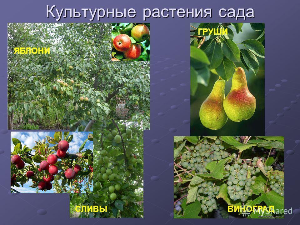 Культурные растения сада ЯБЛОНИ ГРУШИ СЛИВЫВИНОГРАД