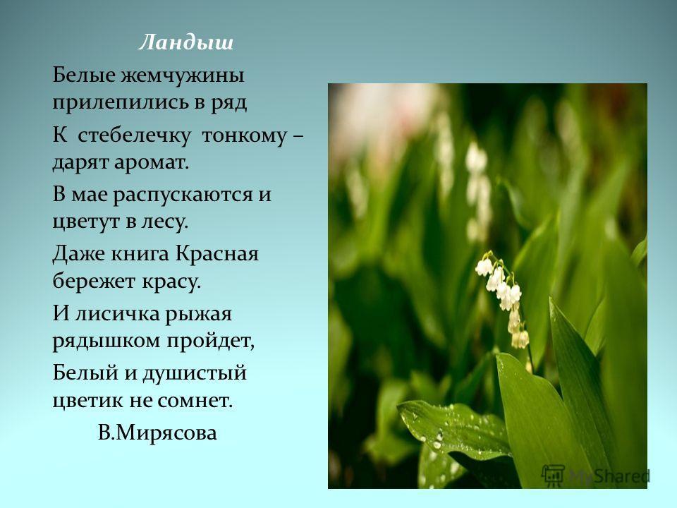 Ландыш Белые жемчужины прилепились в ряд К стебелечку тонкому – дарят аромат. В мае распускаются и цветут в лесу. Даже книга Красная бережет красу. И лисичка рыжая рядышком пройдет, Белый и душистый цветик не сомнет. В.Мирясова