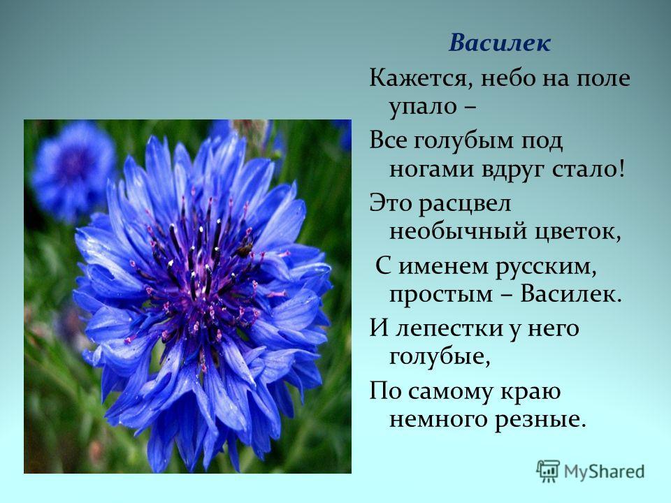 Василек Кажется, небо на поле упало – Все голубым под ногами вдруг стало! Это расцвел необычный цветок, С именем русским, простым – Василек. И лепестки у него голубые, По самому краю немного резные.