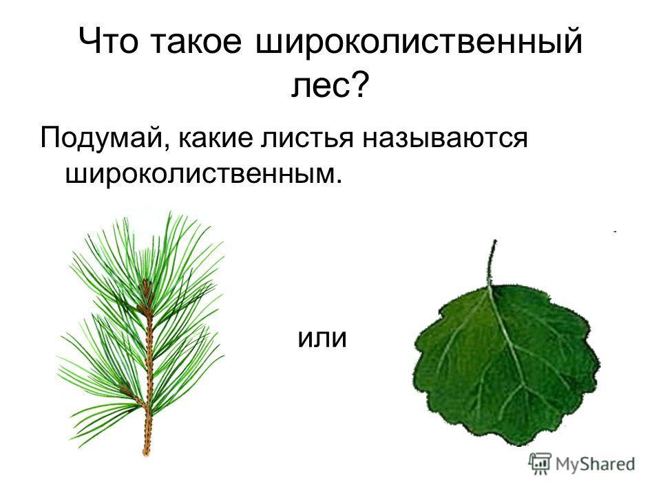 Что такое широколиственный лес? Подумай, какие листья называются широколиственным. или