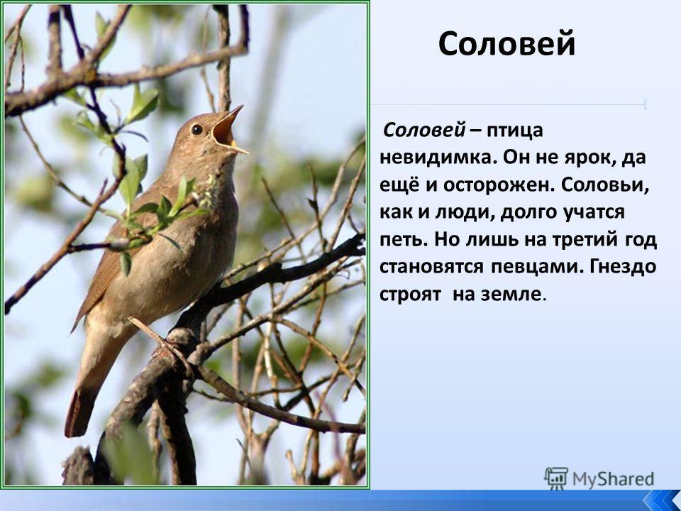 Соловей Соловей – птица невидимка. Он не ярок, да ещё и осторожен. Соловьи, как и люди, долго учатся петь. Но лишь на третий год становятся певцами. Гнездо строят на земле.