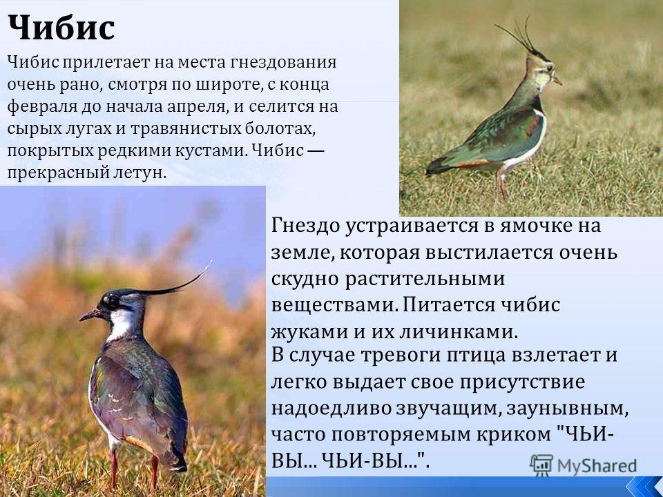 Чибис Чибис прилетает на места гнездования очень рано, смотря по широте, с конца февраля до начала апреля, и селится на сырых лугах и травянистых болотах, покрытых редкими кустами. Чибис прекрасный летун. Гнездо устраивается в ямочке на земле, котора