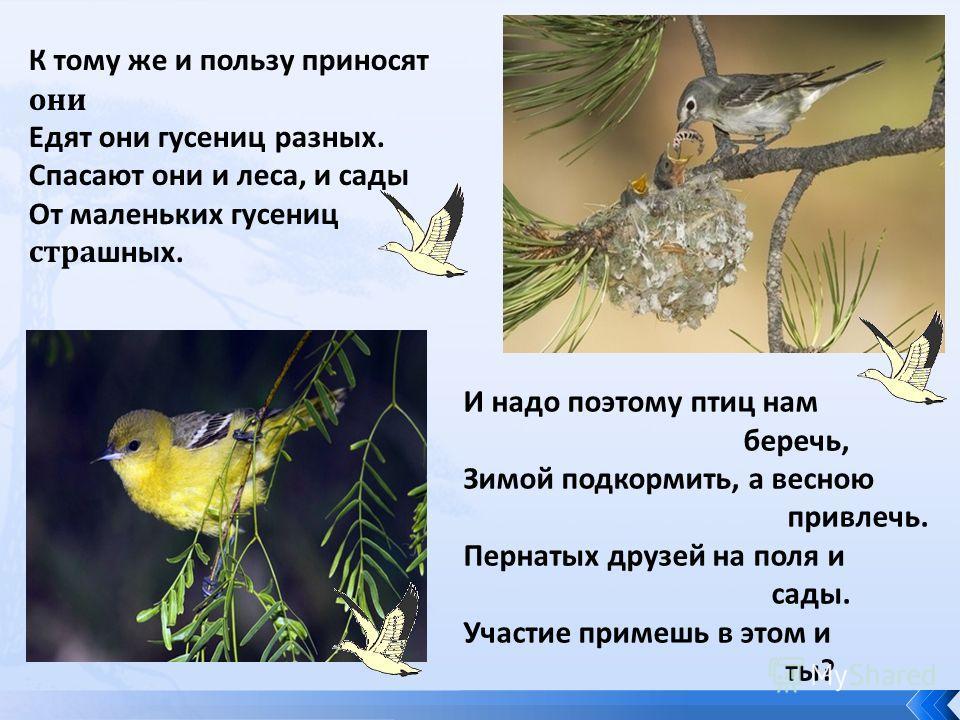 К тому же и пользу приносят они Едят они гусениц разных. Спасают они и леса, и сады От маленьких гусениц стра шных. И надо поэтому птиц нам беречь, Зимой подкормить, а весною привлечь. Пернатых друзей на поля и сады. Участие примешь в этом и ты?