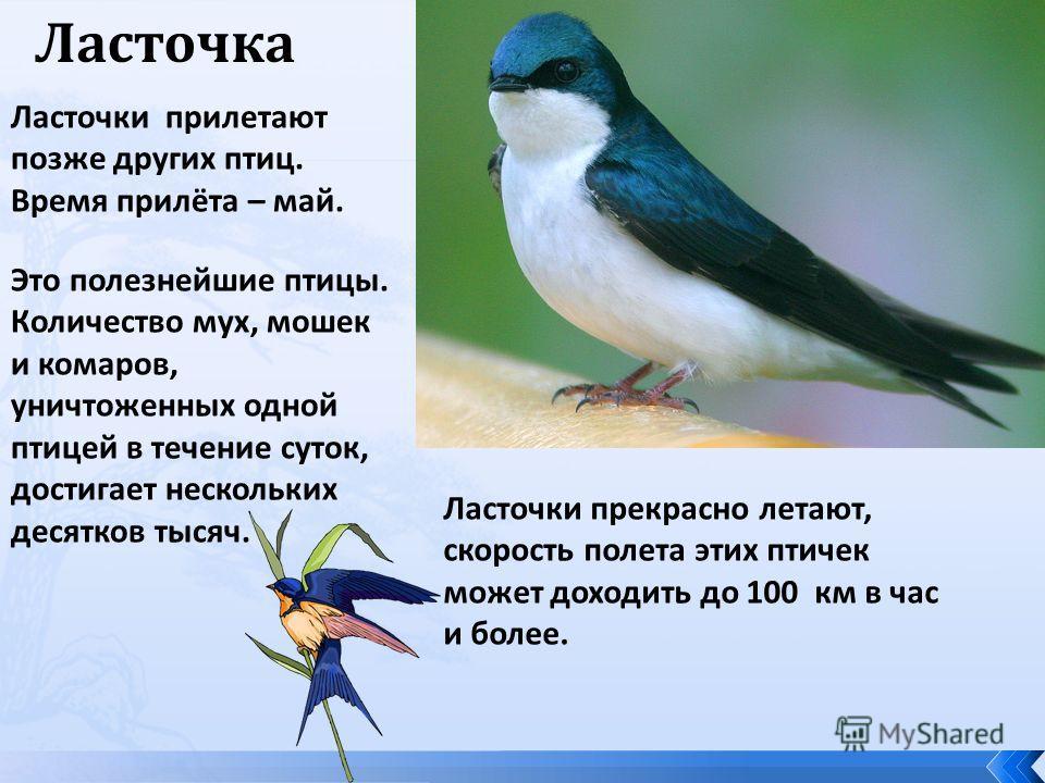 Ласточка Ласточки прилетают позже других птиц. Время прилёта – май. Это полезнейшие птицы. Количество мух, мошек и комаров, уничтоженных одной птицей в течение суток, достигает нескольких десятков тысяч. Ласточки прекрасно летают, скорость полета эти