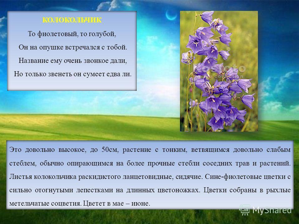 Это довольно высокое, до 50см, растение с тонким, ветвящимся довольно слабым стеблем, обычно опирающимся на более прочные стебли соседних трав и растений. Листья колокольчика раскидистого ланцетовидные, сидячие. Сине-фиолетовые цветки с сильно отогну