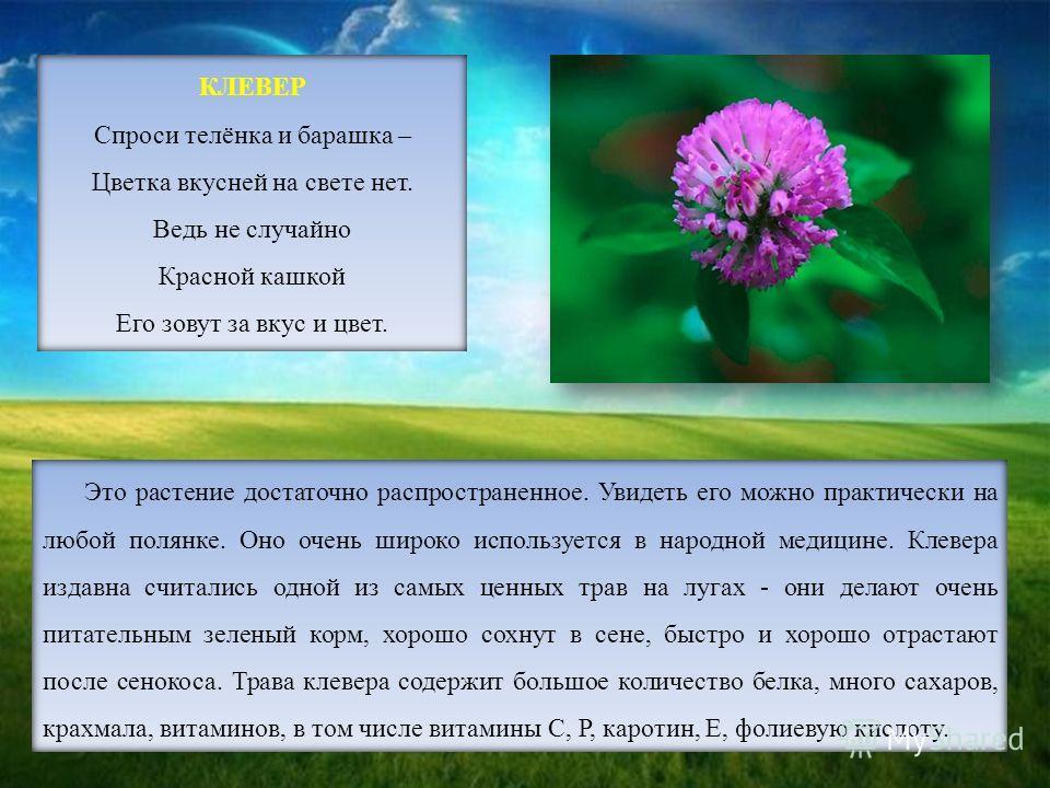 Это растение достаточно распространенное. Увидеть его можно практически на любой полянке. Оно очень широко используется в народной медицине. Клевера издавна считались одной из самых ценных трав на лугах - они делают очень питательным зеленый корм, хо
