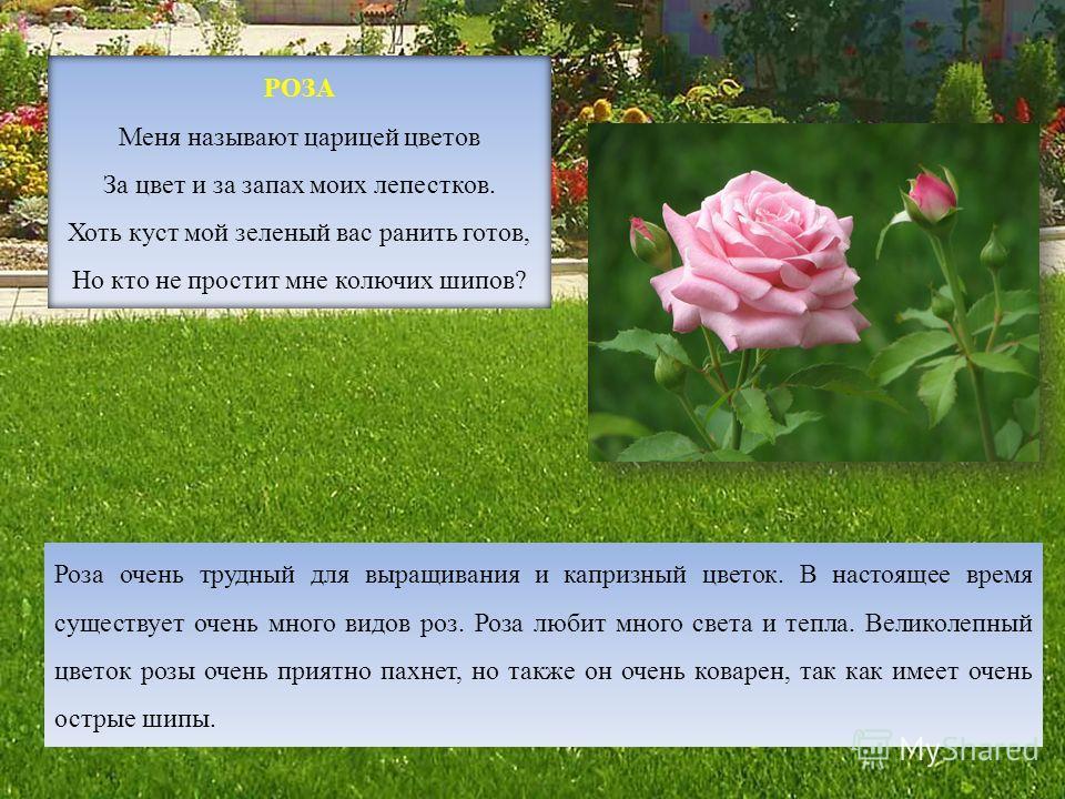 РОЗА Меня называют царицей цветов За цвет и за запах моих лепестков. Хоть куст мой зеленый вас ранить готов, Но кто не простит мне колючих шипов? Роза очень трудный для выращивания и капризный цветок. В настоящее время существует очень много видов ро