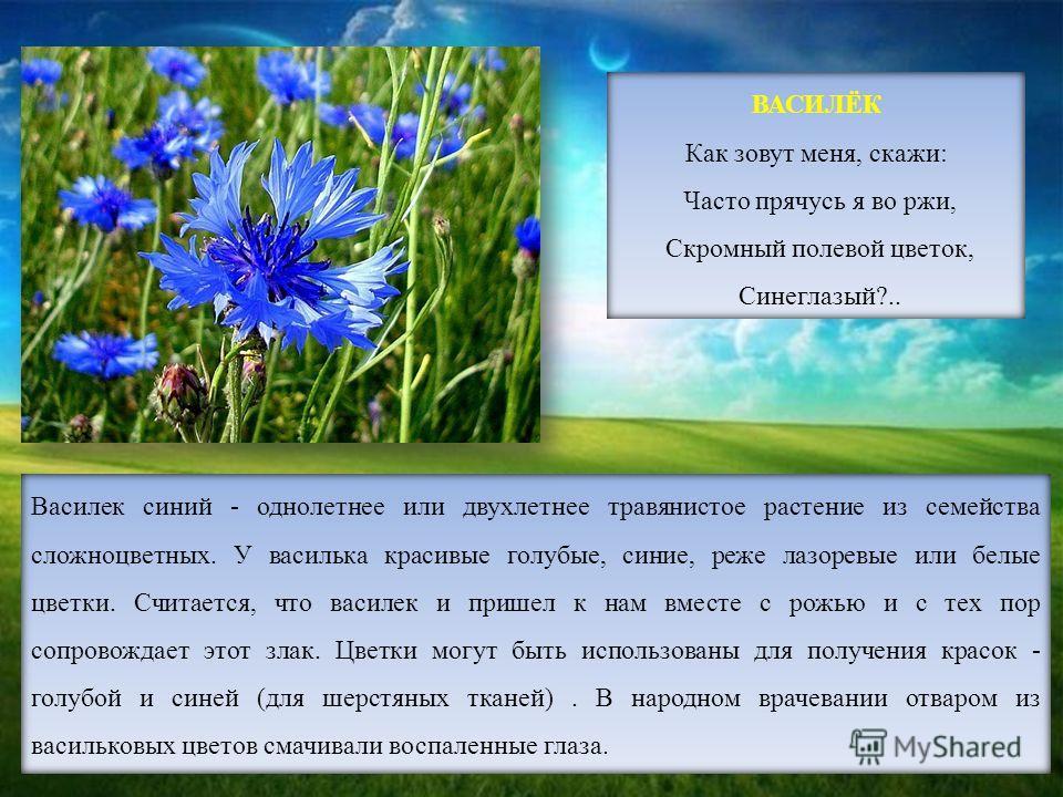 ВАСИЛЁК Как зовут меня, скажи: Часто прячусь я во ржи, Скромный полевой цветок, Синеглазый?.. Василек синий - однолетнее или двухлетнее травянистое растение из семейства сложноцветных. У василька красивые голубые, синие, реже лазоревые или белые цвет