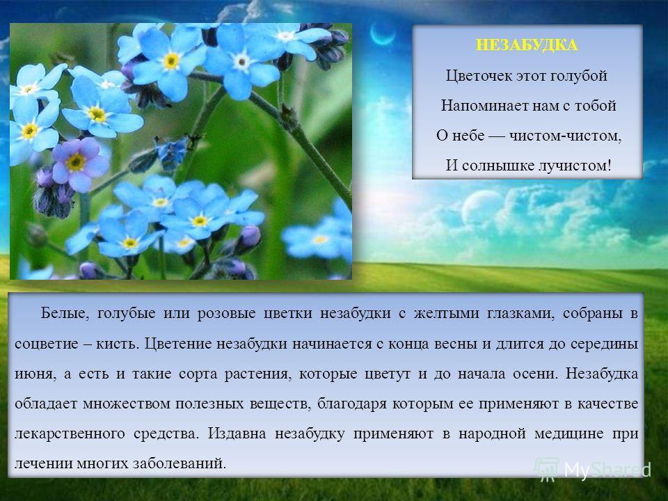 НЕЗАБУДКА Цветочек этот голубой Напоминает нам с тобой О небе чистом-чистом, И солнышке лучистом! Белые, голубые или розовые цветки незабудки с желтыми глазками, собраны в соцветие – кисть. Цветение незабудки начинается с конца весны и длится до сере