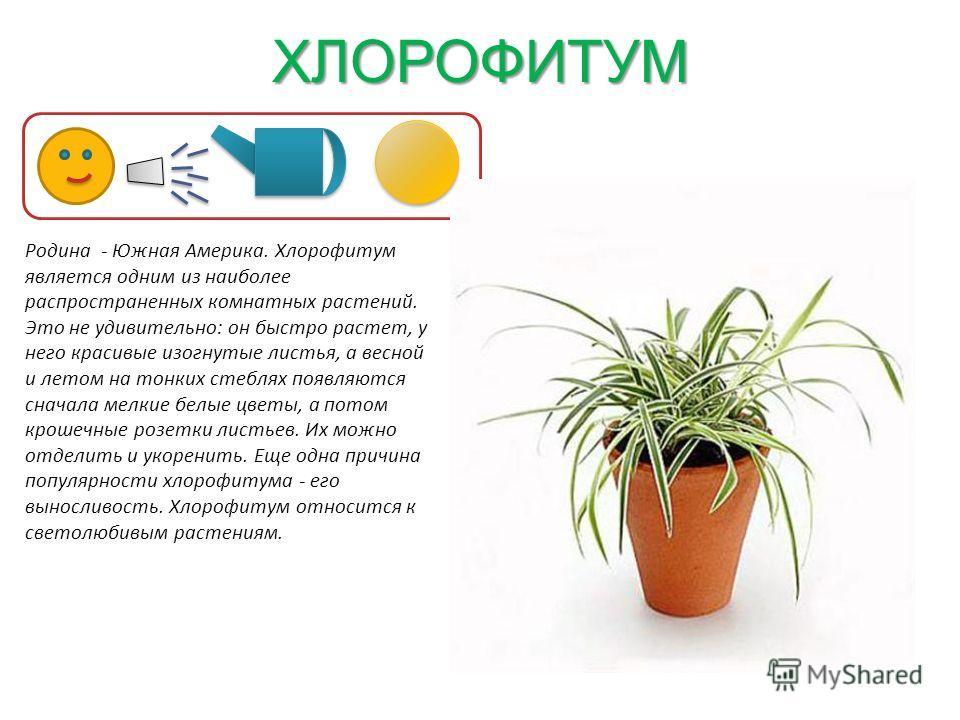 ХЛОРОФИТУМ Родина - Южная Америка. Хлорофитум является одним из наиболее распространенных комнатных растений. Это не удивительно: он быстро растет, у него красивые изогнутые листья, а весной и летом на тонких стеблях появляются сначала мелкие белые ц