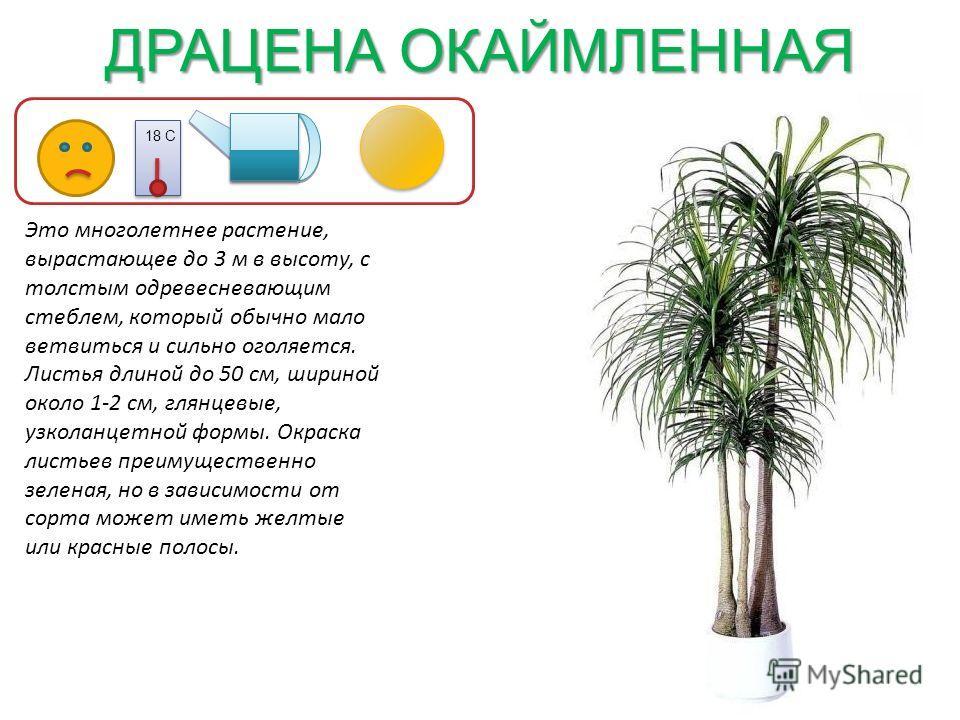 ДРАЦЕНА ОКАЙМЛЕННАЯ 18 С Это многолетнее растение, вырастающее до 3 м в высоту, с толстым одревесневающим стеблем, который обычно мало ветвиться и сильно оголяется. Листья длиной до 50 см, шириной около 1-2 см, глянцевые, узколанцетной формы. Окраска