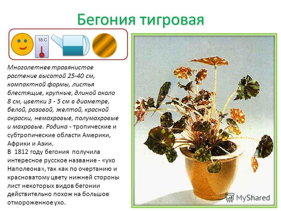 Бегония тигровая Многолетнее травянистое растение высотой 25-40 см, компактной формы, листья блестящие, крупные, длиной около 8 см, цветки 3 - 5 см в диаметре, белой, розовой, желтой, красной окраски, немахровые, полумахровые и махровые. Родина - тро