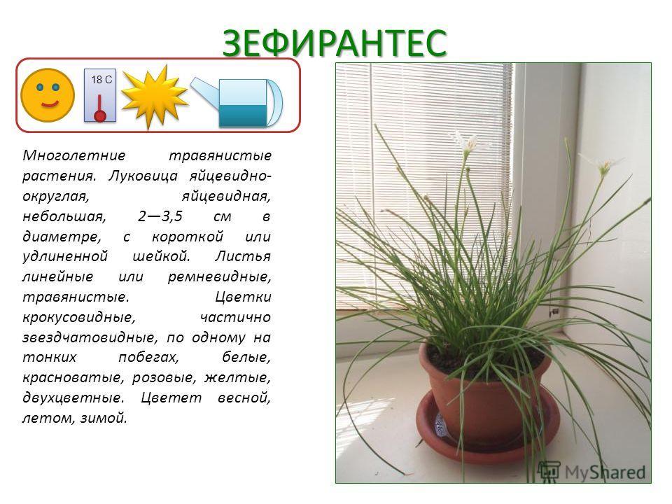 ЗЕФИРАНТЕС Многолетние травянистые растения. Луковица яйцевидно- округлая, яйцевидная, небольшая, 23,5 см в диаметре, с короткой или удлиненной шейкой. Листья линейные или ремневидные, травянистые. Цветки крокусовидные, частично звездчатовидные, по о