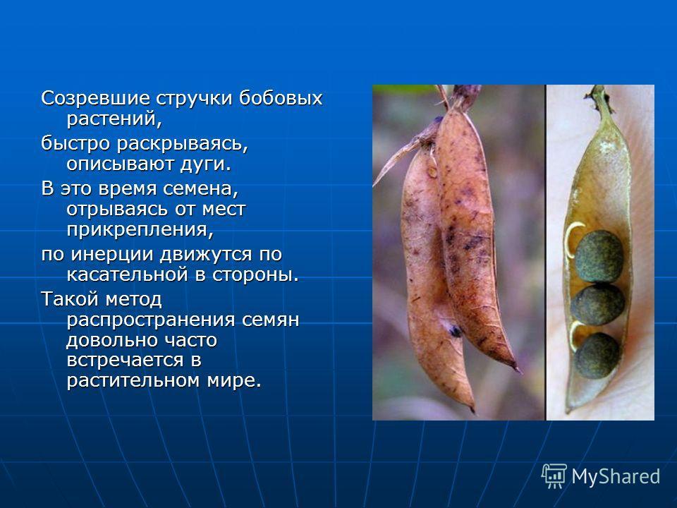 Созревшие стручки бобовых растений, быстро раскрываясь, описывают дуги. В это время семена, отрываясь от мест прикрепления, по инерции движутся по касательной в стороны. Такой метод распространения семян довольно часто встречается в растительном мире