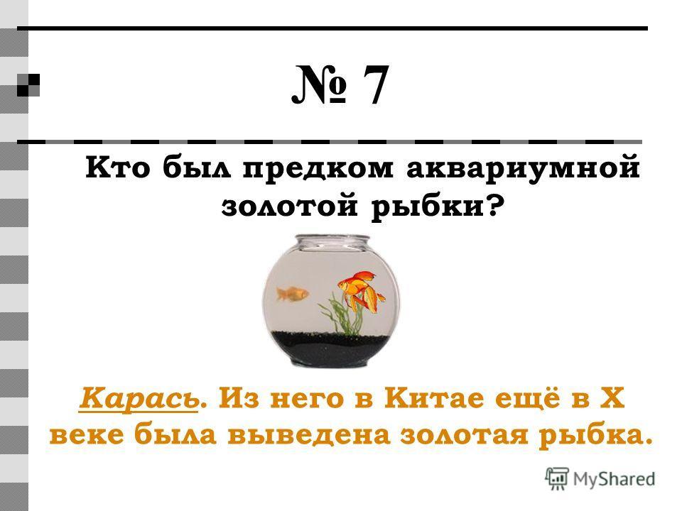 7 Кто был предком аквариумной золотой рыбки? Карась. Из него в Китае ещё в X веке была выведена золотая рыбка.