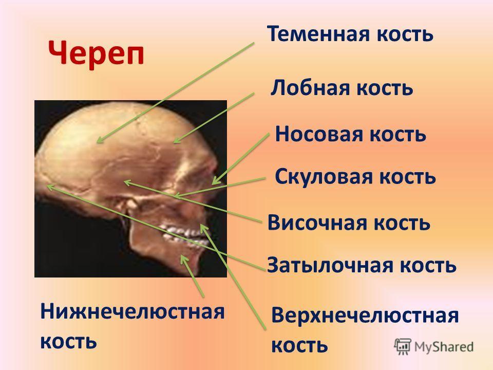Теменная кость Височная кость Лобная кость Затылочная кость Носовая кость Верхнечелюстная кость Нижнечелюстная кость Череп Скуловая кость
