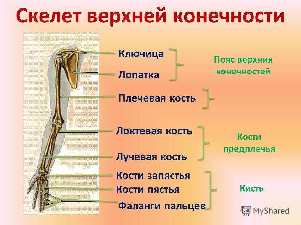 Скелет верхней конечности Ключица Лопатка Плечевая кость Локтевая кость Лучевая кость Кости запястья Кости пястья Фаланги пальцев Пояс верхних конечностей Кости предплечья Кисть