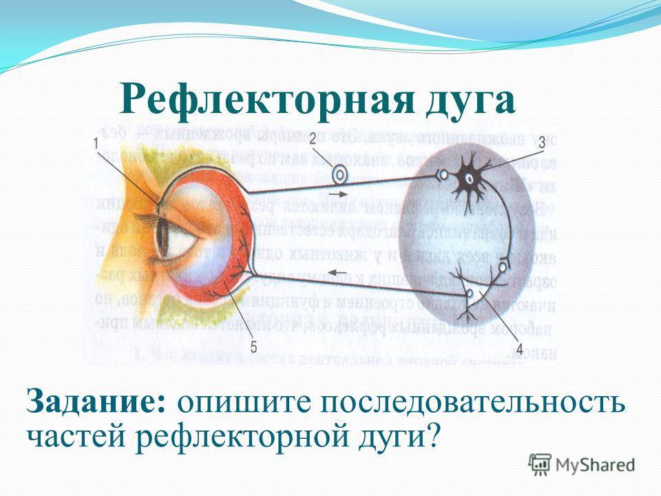 Рефлекторная дуга Задание: опишите последовательность частей рефлекторной дуги?