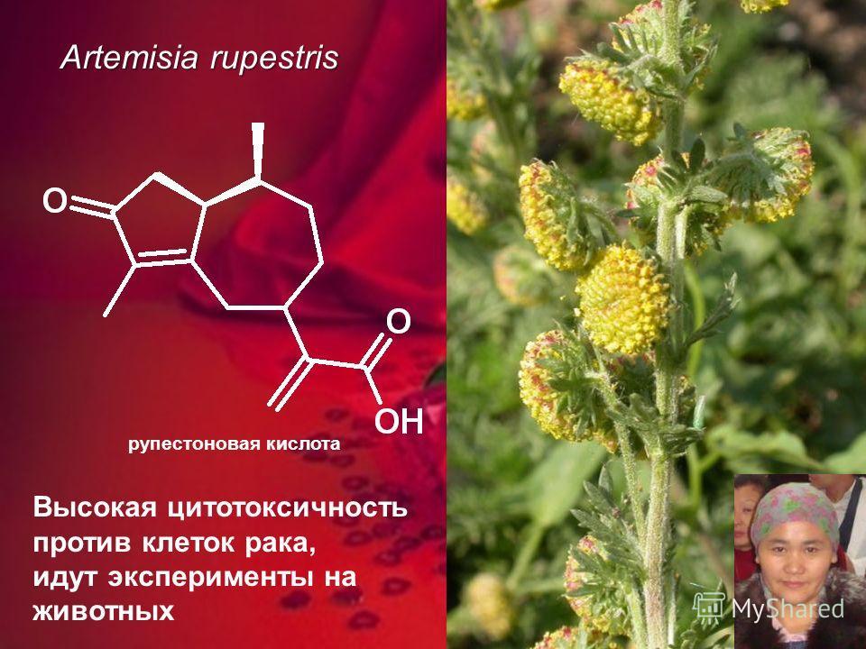 Artemisia rupestris рупестоновая кислота Высокая цитотоксичность против клеток рака, идут эксперименты на животных