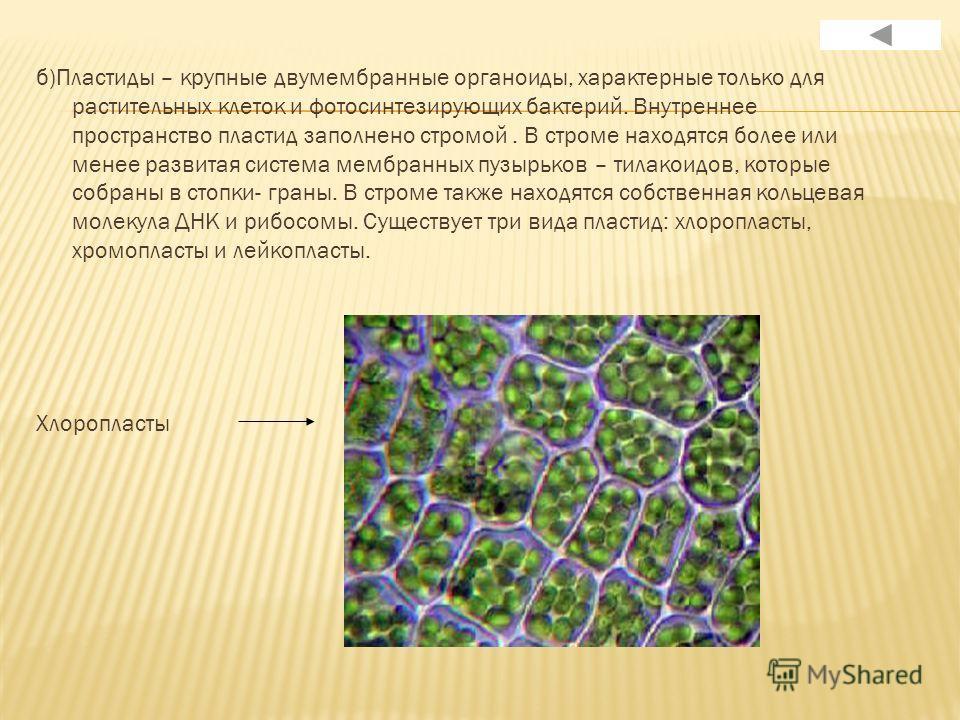 б)Пластиды – крупные двумембранные органоиды, характерные только для растительных клеток и фотосинтезирующих бактерий. Внутреннее пространство пластид заполнено стромой. В строме находятся более или менее развитая система мембранных пузырьков – тилак