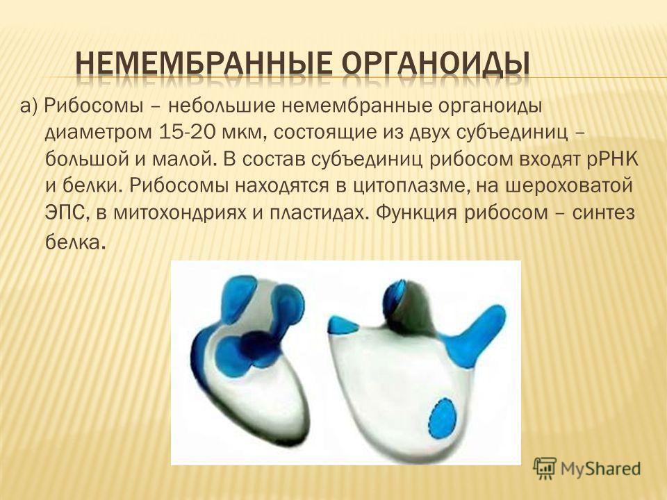 a) Рибосомы – небольшие немембранные органоиды диаметром 15-20 мкм, состоящие из двух субъединиц – большой и малой. В состав субъединиц рибосом входят рРНК и белки. Рибосомы находятся в цитоплазме, на шероховатой ЭПС, в митохондриях и пластидах. Функ
