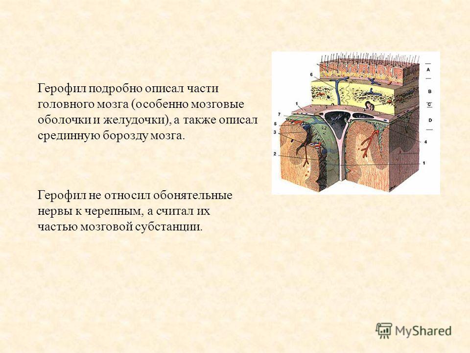 Герофил подробно описал части головного мозга (особенно мозговые оболочки и желудочки), а также описал срединную борозду мозга. Герофил не относил обонятельные нервы к черепным, а считал их частью мозговой субстанции.