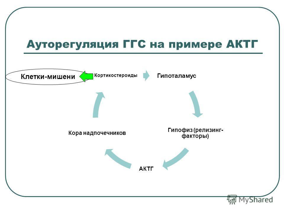 Ауторегуляция ГГС на примере АКТГ Гипоталамус Гипофиз (релизинг- факторы) АКТГ Кора надпочечников Кортикостероиды Клетки-мишени