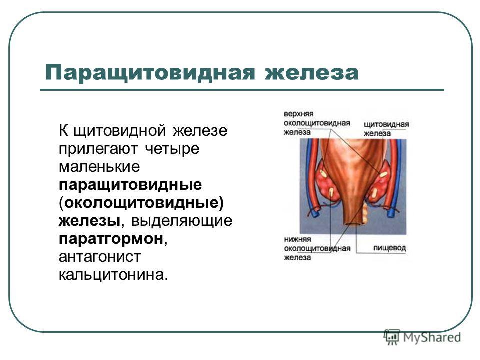 Паращитовидная железа К щитовидной железе прилегают четыре маленькие паращитовидные (околощитовидные) железы, выделяющие паратгормон, антагонист кальцитонина.