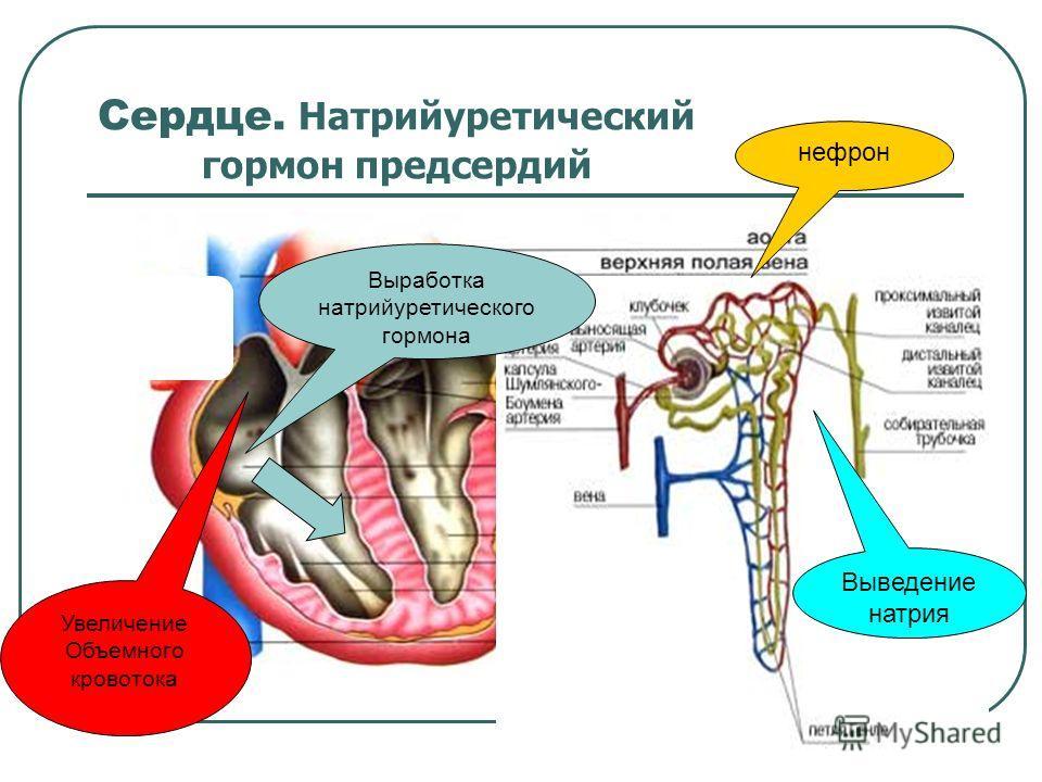Сердце. Натрийуретический гормон предсердий Выработка натрийуретического гормона нефрон Выведение натрия Увеличение Объемного кровотока