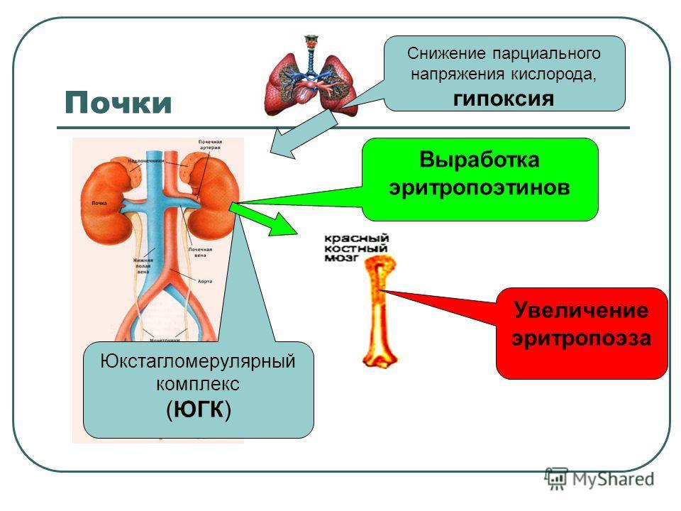 Почки Снижение парциального напряжения кислорода, гипоксия Юкстагломерулярный комплекс (ЮГК) Выработка эритропоэтинов Увеличение эритропоэза