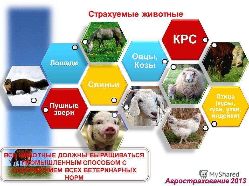 Страхуемые животные Лошади Свиньи Пушные звери Овцы, Козы КРС Птица (куры, гуси, утки, индейки) ВСЕ ЖИВОТНЫЕ ДОЛЖНЫ ВЫРАЩИВАТЬСЯ ПРОМЫШЛЕННЫМ СПОСОБОМ С СОБЛЮДЕНИЕМ ВСЕХ ВЕТЕРИНАРНЫХ НОРМ