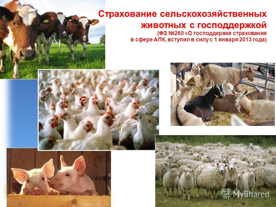 Страхование сельскохозяйственных животных с господдержкой (ФЗ 260 «О господдержке страхования в сфере АПК, вступил в силу с 1 января 2013 года)