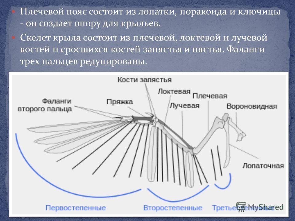 Плечевой пояс состоит из лопатки, поракоида и ключицы - он создает опору для крыльев. Скелет крыла состоит из плечевой, локтевой и лучевой костей и сросшихся костей запястья и пястья. Фаланги трех пальцев редуцированы.