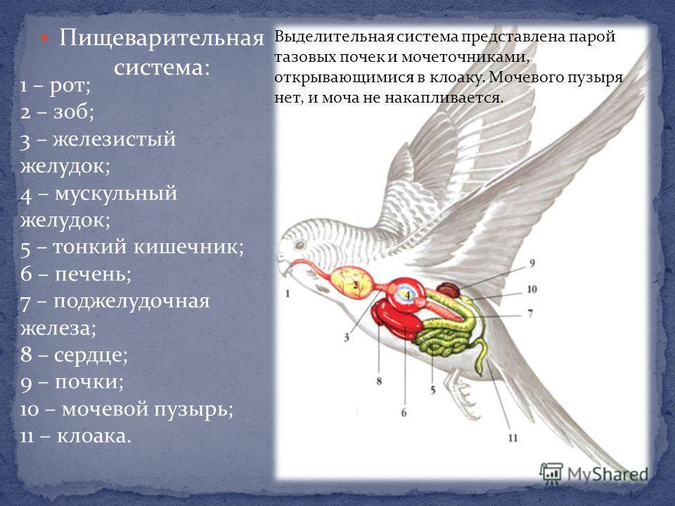 Пищеварительная система: 1 – рот; 2 – зоб; 3 – железистый желудок; 4 – мускульный желудок; 5 – тонкий кишечник; 6 – печень; 7 – поджелудочная железа; 8 – сердце; 9 – почки; 10 – мочевой пузырь; 11 – клоака. Выделительная система представлена парой та