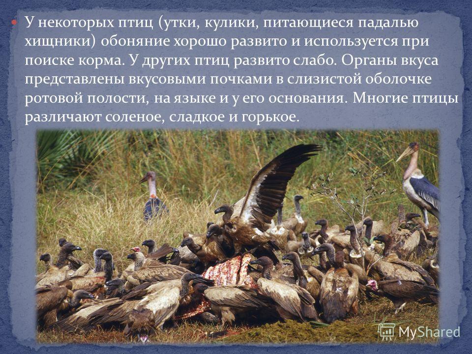У некоторых птиц (утки, кулики, питающиеся падалью хищники) обоняние хорошо развито и используется при поиске корма. У других птиц развито слабо. Органы вкуса представлены вкусовыми почками в слизистой оболочке ротовой полости, на языке и у его основ