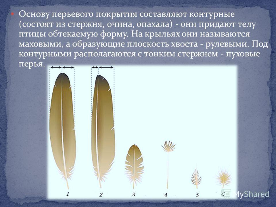 Основу перьевого покрытия составляют контурные (состоят из стержня, очина, опахала) - они придают телу птицы обтекаемую форму. На крыльях они называются маховыми, а образующие плоскость хвоста - рулевыми. Под контурными располагаются с тонким стержне