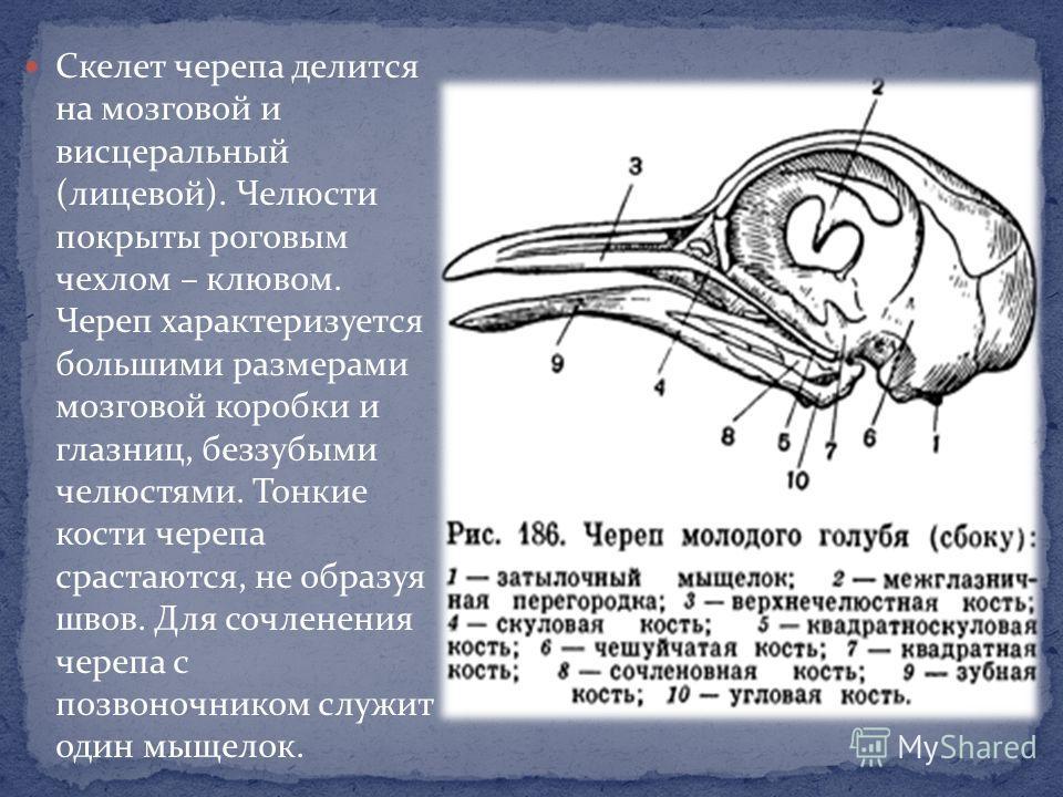Скелет черепа делится на мозговой и висцеральный (лицевой). Челюсти покрыты роговым чехлом – клювом. Череп характеризуется большими размерами мозговой коробки и глазниц, беззубыми челюстями. Тонкие кости черепа срастаются, не образуя швов. Для сочлен