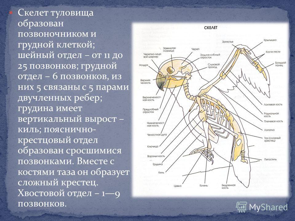 Скелет туловища образован позвоночником и грудной клеткой; шейный отдел – от 11 до 25 позвонков; грудной отдел – 6 позвонков, из них 5 связаны с 5 парами двучленных ребер; грудина имеет вертикальный вырост – киль; пояснично- крестцовый отдел образова