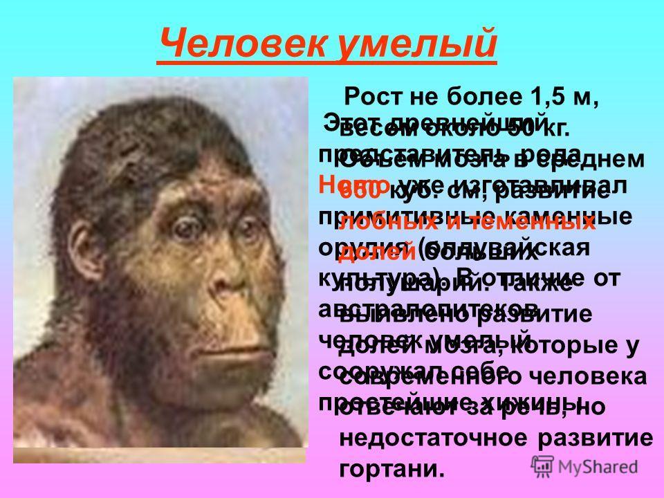 Человек умелый Этот древнейший представитель рода Homo уже изготавливал примитивные каменные орудия (олдувайская культура). В отличие от австралопитеков человек умелый сооружал себе простейшие хижины. Рост не более 1,5 м, весом около 50 кг. Объем моз