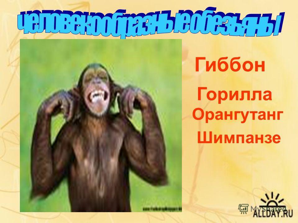 Гиббон Горилла Орангутанг Шимпанзе