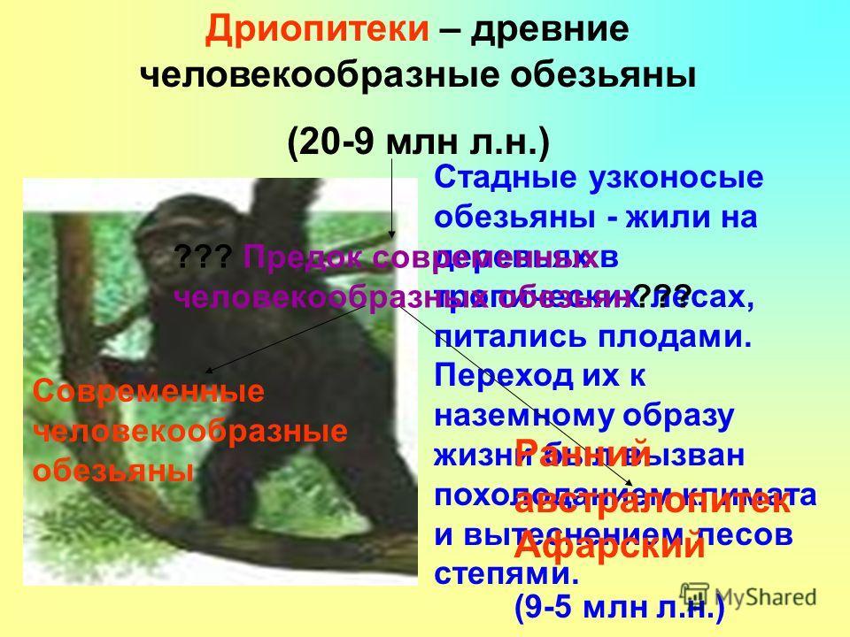 Дриопитеки – древние человекообразные обезьяны (20-9 млн л.н.) Стадные узконосые обезьяны - жили на деревьях в тропических лесах, питались плодами. Переход их к наземному образу жизни был вызван похолоданием климата и вытеснением лесов степями. ??? П