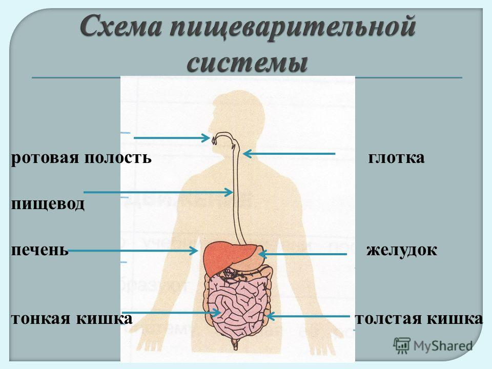 ротовая полость глотка пищевод печень желудок тонкая кишка толстая кишка