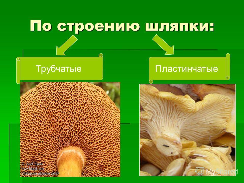 По строению шляпки: По строению шляпки: ТрубчатыеПластинчатые