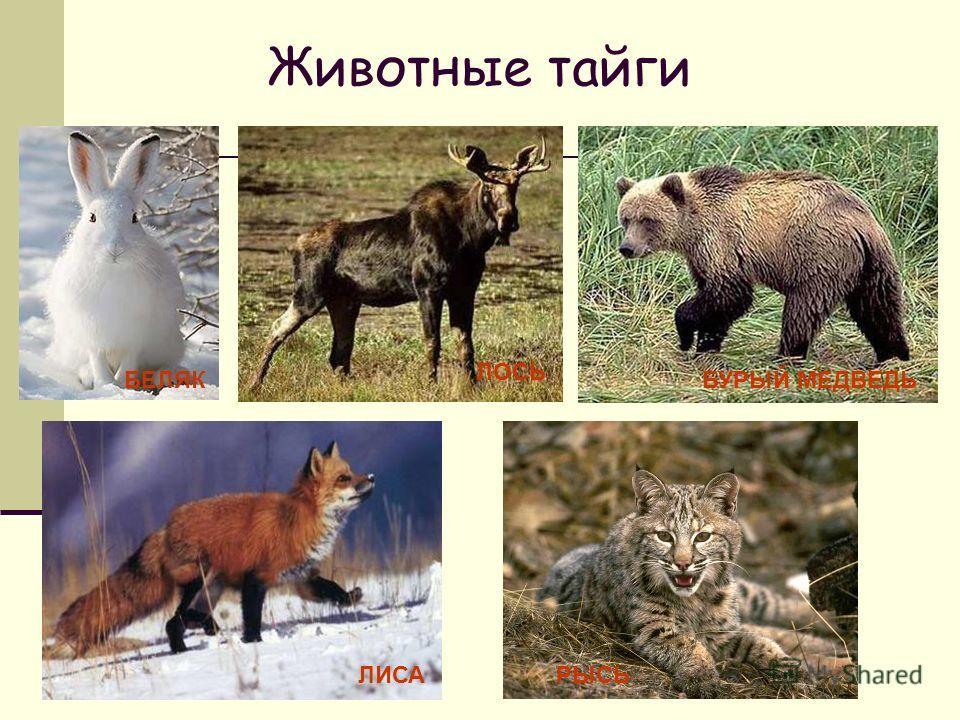 Животные тайги БЕЛЯК ЛОСЬ БУРЫЙ МЕДВЕДЬ ЛИСАРЫСЬ