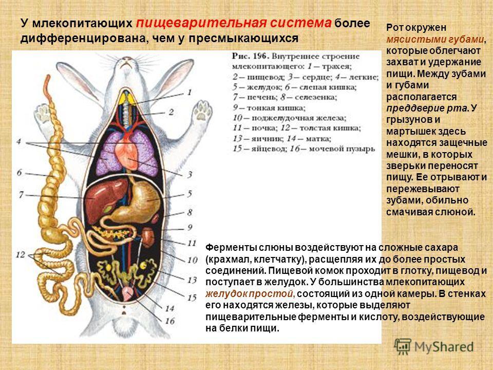 У млекопитающих пищеварительная система более дифференцирована, чем у пресмыкающихся Рот окружен мясистыми губами, которые облегчают захват и удержание пищи. Между зубами и губами располагается преддверие рта. У грызунов и мартышек здесь находятся за