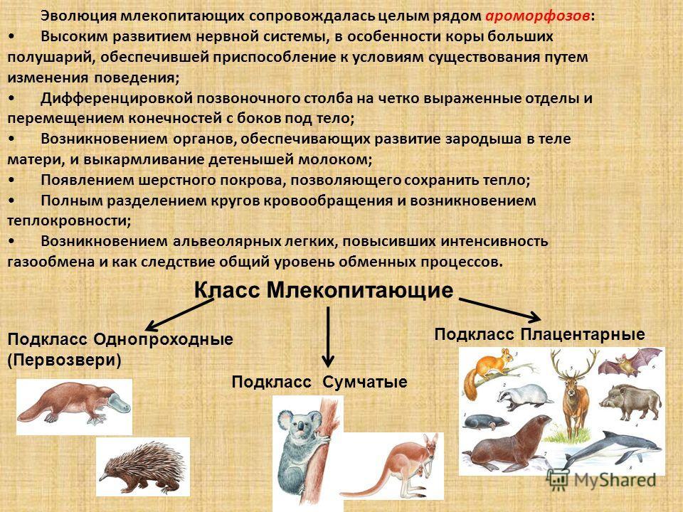 Эволюция млекопитающих сопровождалась целым рядом ароморфозов: Высоким развитием нервной системы, в особенности коры больших полушарий, обеспечившей приспособление к условиям существования путем изменения поведения; Дифференцировкой позвоночного стол