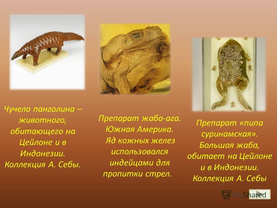 Чучело панголина – животного, обитающего на Цейлоне и в Индонезии. Коллекция А. Себы. Препарат «пипа суринамская». Большая жаба, обитает на Цейлоне и в Индонезии. Коллекция А. Себы Препарат жаба-ага. Южная Америка. Яд кожных желез использовался индей