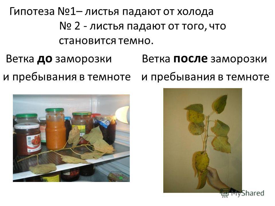 Гипотеза 1– листья падают от холода 2 - листья падают от того, что становится темно. Ветка до заморозки Ветка после заморозки и пребывания в темноте